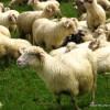 Wypas owiec w Tatrach